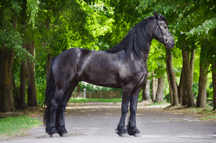 How Much Does A Friesian Horse Cost? What is the Friesian Horse Purchase Price and Ongoing Costs