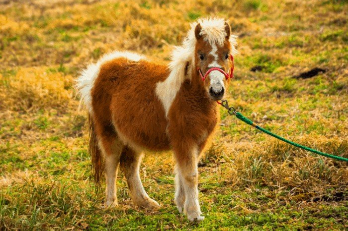 How much does a miniature horse cost?
