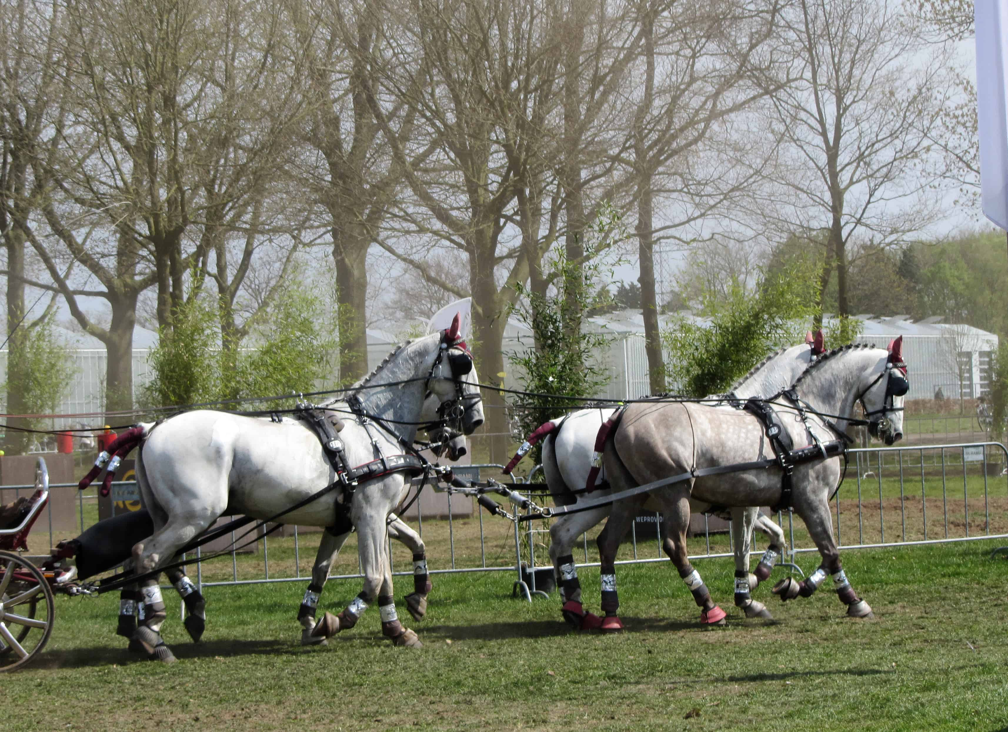 Team of Percheron Horses Running. Biggest horse breed