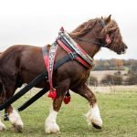 Top 7 Tallest Horse Breeds. All You Need to Know About Them