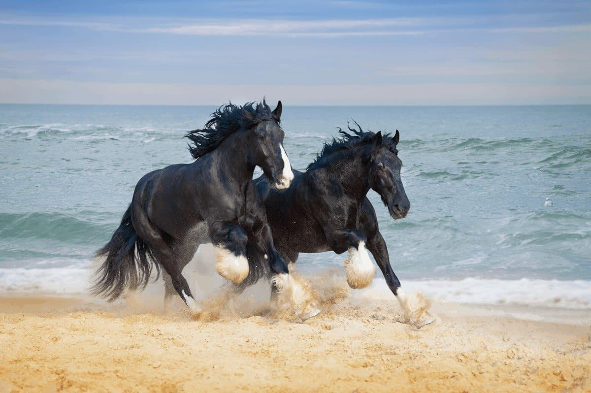 shire horse breed