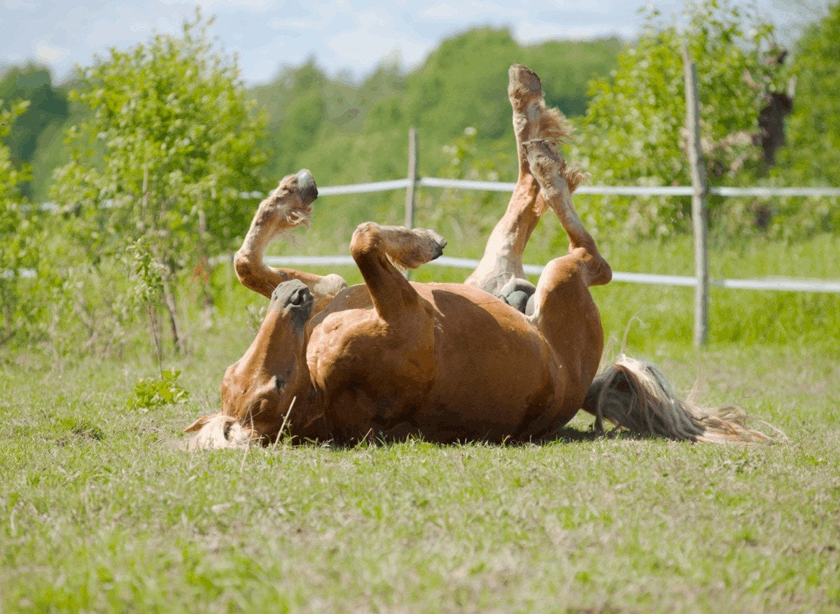 What Causes a Horse to Colic. Best Horse Colic Treatments