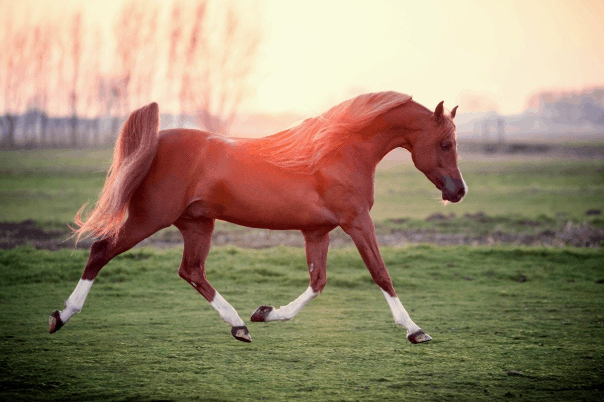 How Much Does An Arabian Horse Cost? All About an Arabian Horse Price.
