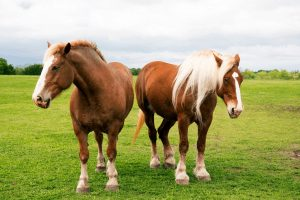 Belgian draft horse vs Clydesdale. What is the difference?
