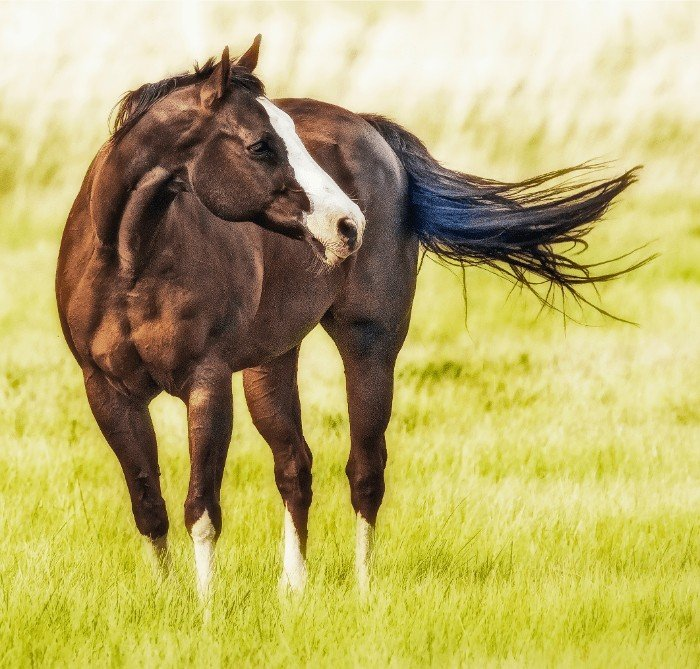 Which is the Calmest Horse Breeds for Beginners?