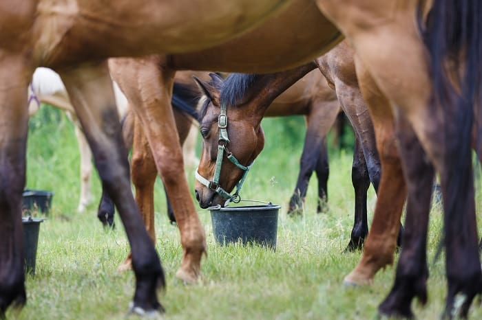 Pros and Cons of Feeding Beet Pulp for Horses