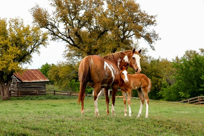 How does a paint horse and pinto horse differ?