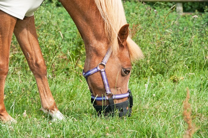 Using a Grazing Muzzle, and Which Grazing Muzzle is Best