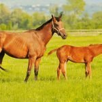 Cause and Treating Proud Flesh in Horses