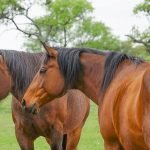 Understanding Your Horse's Body Language: Horse Ears Language Chart