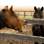 Horse Coughing Remedies, Problems and Treatment