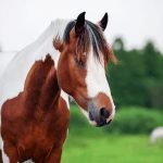 Pinto vs Paint Horse – What's the Difference?