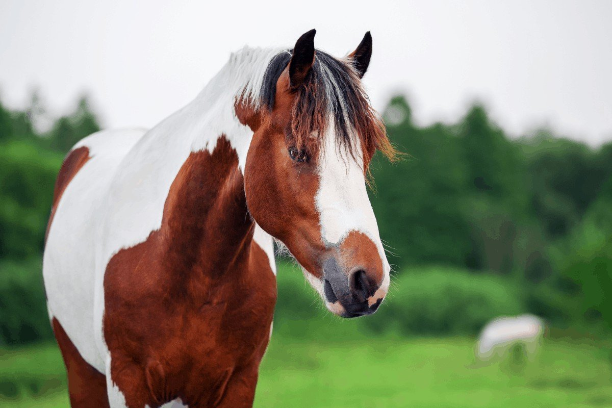 Pinto vs Paint horse – What's The Difference