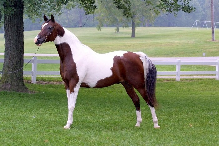 Common Horse Conformation Issues