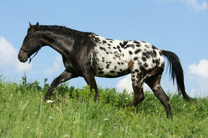 Appaloosa Horse Origin Before North America
