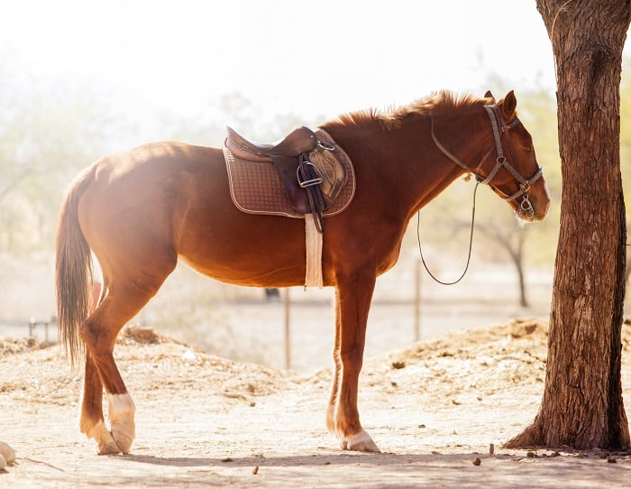How Much Does a Quarter Weigh: Saddle Horse Weights