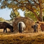 How Much Hay Does a Horse Eat Daily?