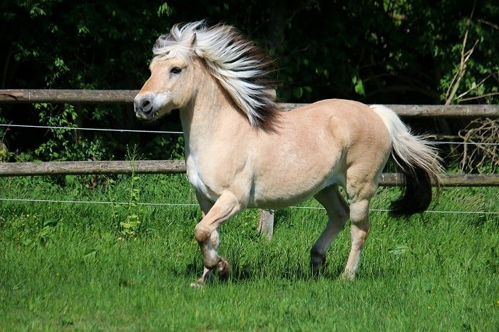 Smallest Draft Horse Breed: Fjords