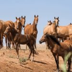 How Long Are Mares In Heat