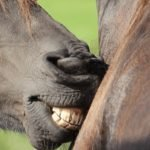 Ageing A Horse By Its Teeth