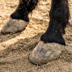 Horses with Navicular- Can They Be Ridden?