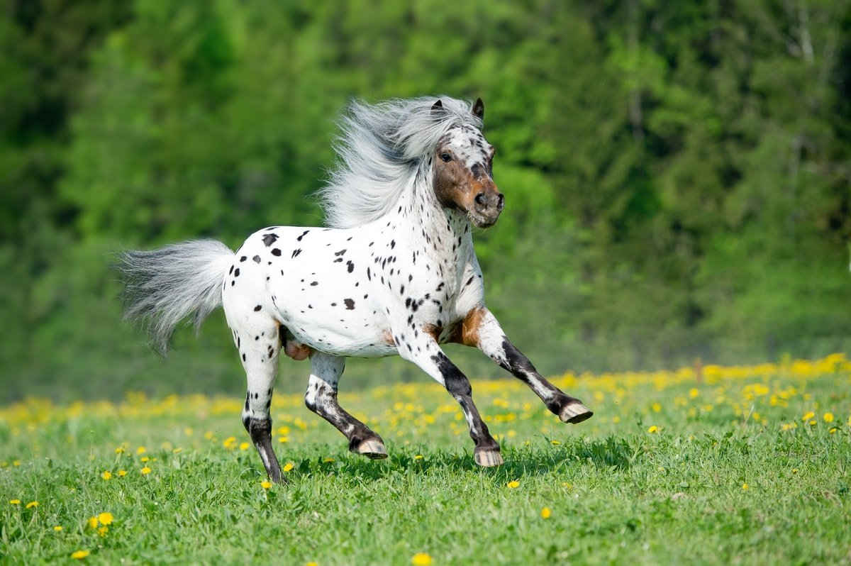Pony of the Americas Breed Information