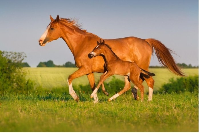 How Soon Can You Ride a Mare After Foaling -Mare Health