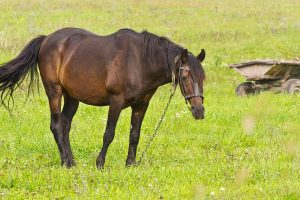 Symptoms Of Ulcers In Horses