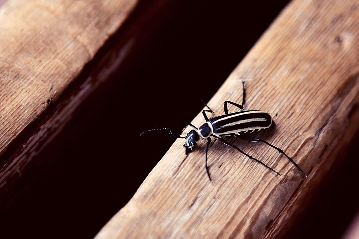 What Do Blister Beetles Do To Horses - What You Need to Know