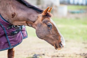 What Is a Sarcoid On a Horse - The Unique Equine Tumor