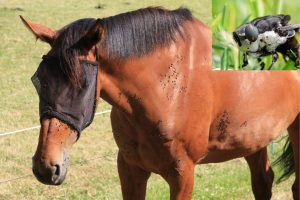 Bot Fly Eggs On Horses-Treatment & Removal