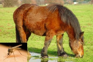 West Nile Virus in Horses