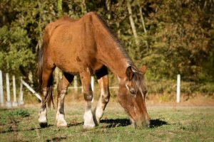 How Long Do Horses Live With Cushing's Disease
