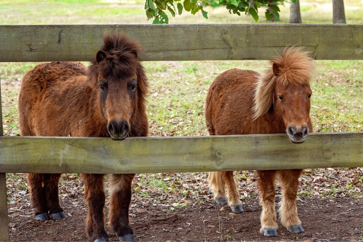 How Much Weight Can A Miniature Horse Carry?