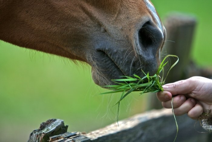 Nutritional Needs for a Horse