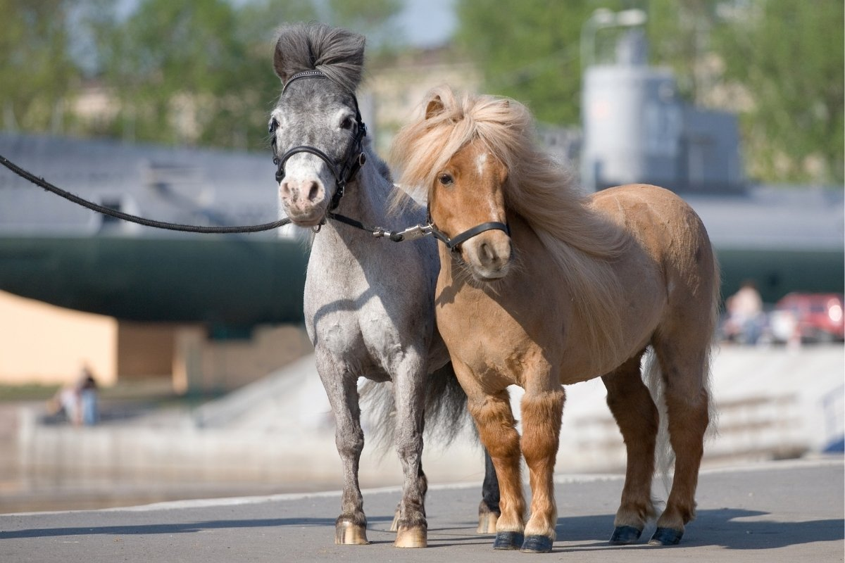 Can You Ride A Mini Horse - Yes, No, Maybe