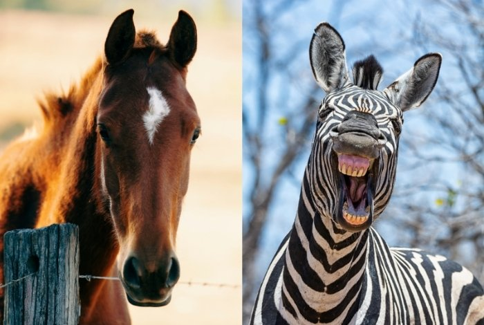 Difference between Zebra and Horse