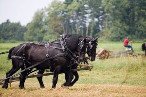 How Much Weight Can A Draft Horse Pull - Loveable Powerhouses