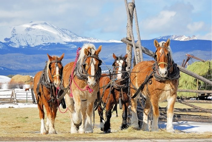 How Much Weight Can a Draft Horse Pull