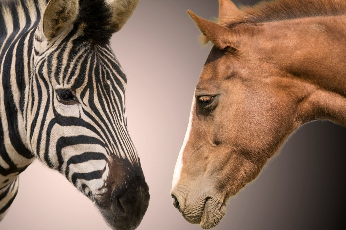 Zebra vs Horse Size - How Different Are They