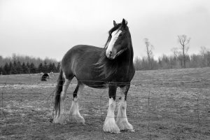 Clydesdale Horse Compared To A Normal Horse