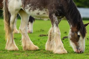 Horse Breeds With Feathers - Our Favorites