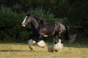 Biggest Draft Horse In The World