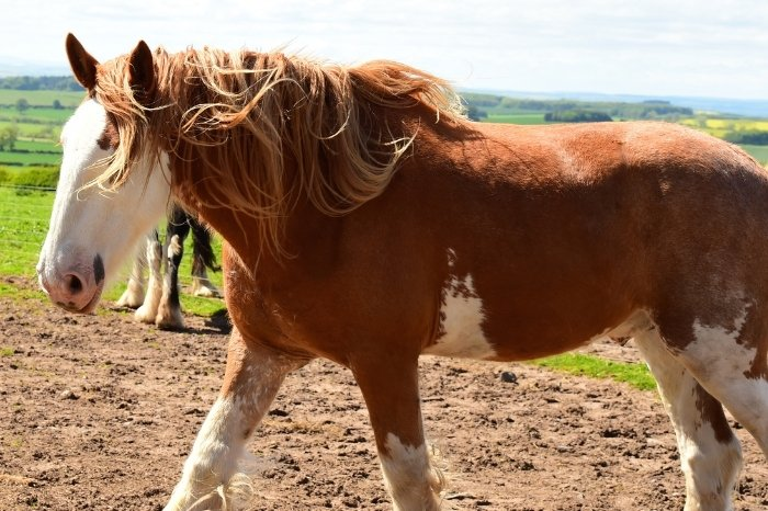 Clydesdale - Horse Breeds With Long Hair