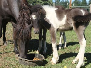 How Do Horses Feed Their Young