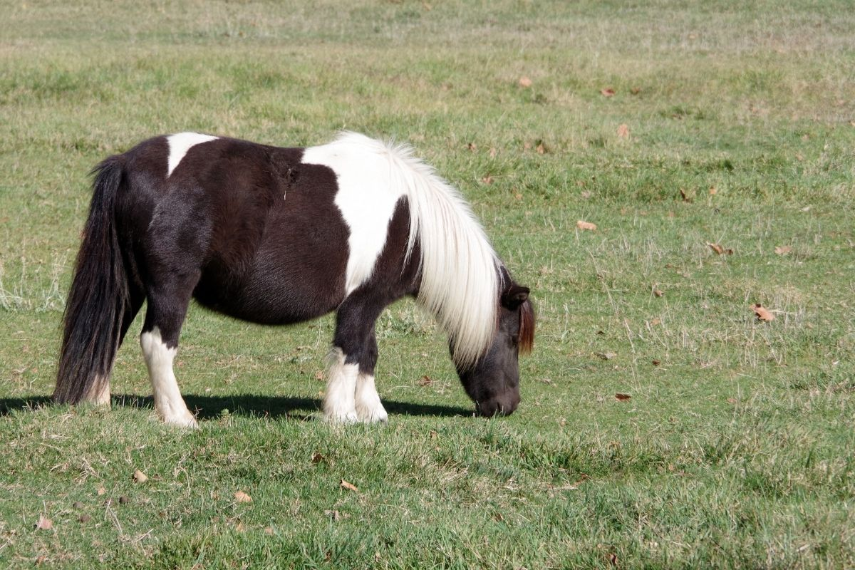 How Much Does A Miniature Horse Cost Per Year