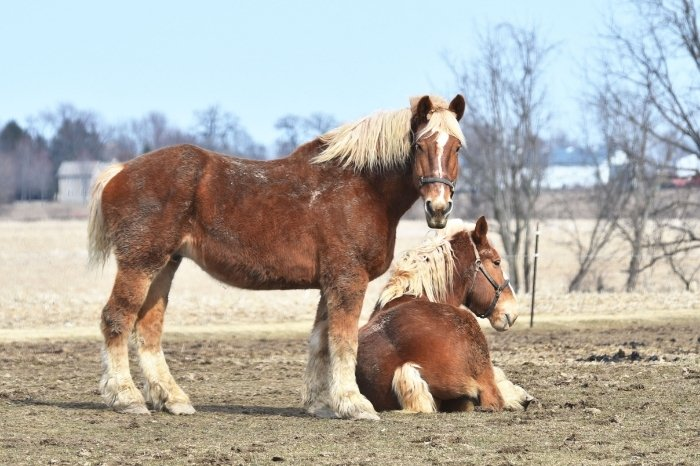 Other Large Draft Horse Breeds