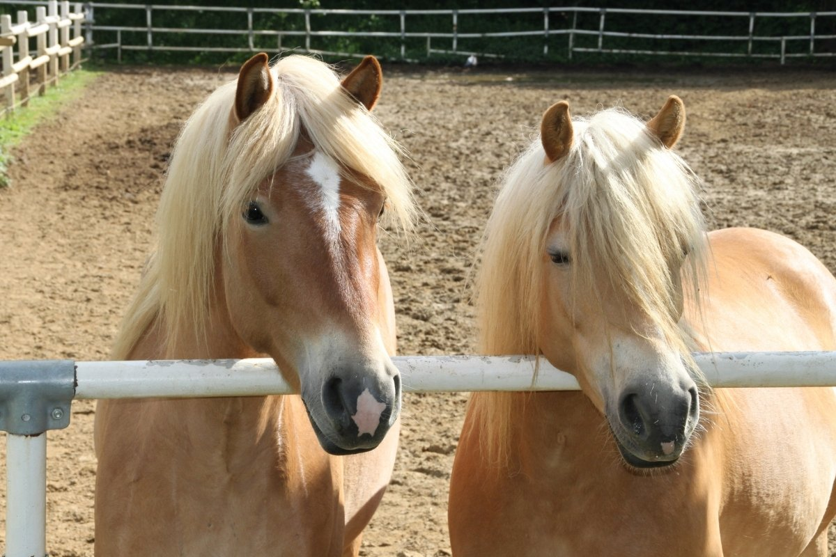 What Is A Haflinger Horse - All You Need to Know!