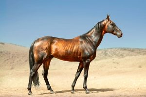 What Is The Most Expensive Horse In The World