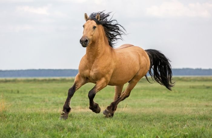 how long can a horse gallop